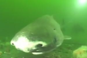 إكتشاف نوع من سمك القرش يستطيع العيش حتى 400 سنة !