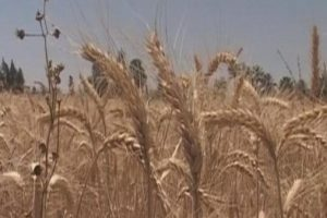 مصر : السماح بنسبة 0.05 بالمئة من فطريات الإرجوت في القمح المستورد