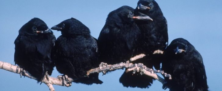 """الغربان أصبحت """"دموية"""" في أستراليا والبشر في حالة خوف مستمرة منها !"""