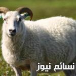 حكم الاضحية .. تعريفها ومسائل قبل عيد الاضحى المبارك مع الشروط