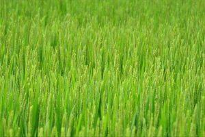 الحكومة المصرية تتوعد المزارعين المخالفين لقرار حظر زراعة محصول الأرز