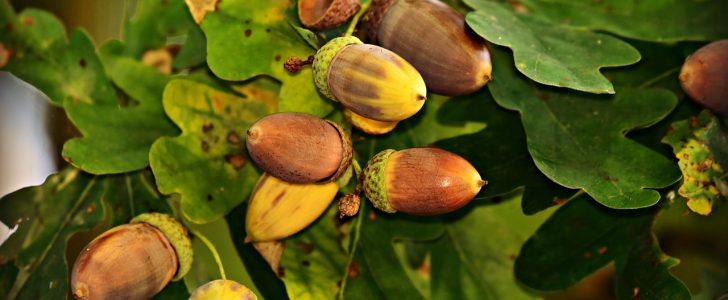 ثمرة البلوط وفوائده للبشرة