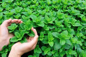 عشب المليسا وفوائده للبشرة