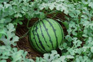 البطيخ وفوائدة للانسان