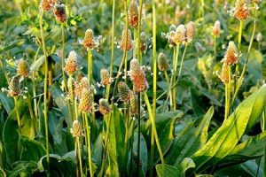 أنواع عشب لسان الحمل وفوائده للصحة