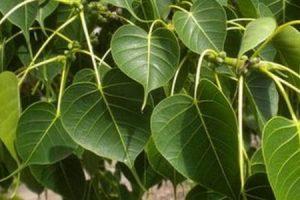 فوائد عشب لسان العصفور للصحة