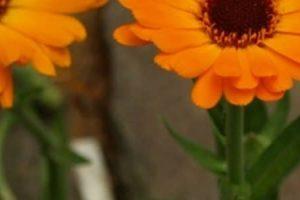 فوائد نبات الأذريون للصحة العامة