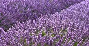 نبتة الخزامى وأهم الفوائد الخاصة بها