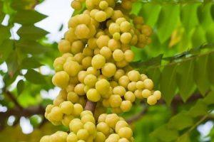 نبات الاملج وفوائده لجسم الإنسان