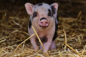 تفسير رؤية الخنزير في المنام بالتفصيل لابن سيرين